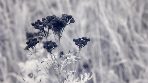 Infrared flora: matured tansy herb Footage