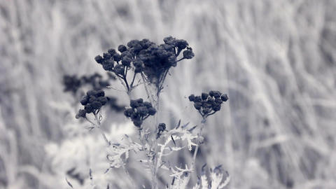 Infrared flora: matured tansy herb Stock Video Footage