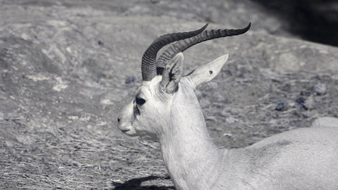 Infrared fauna: gazelle lying on a sand 1 Stock Video Footage