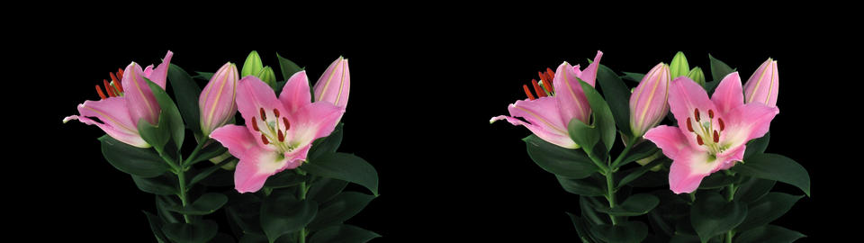 Stereoscopic 3D time-lapse of opening pink lily cross-eye 4a Stock Video Footage