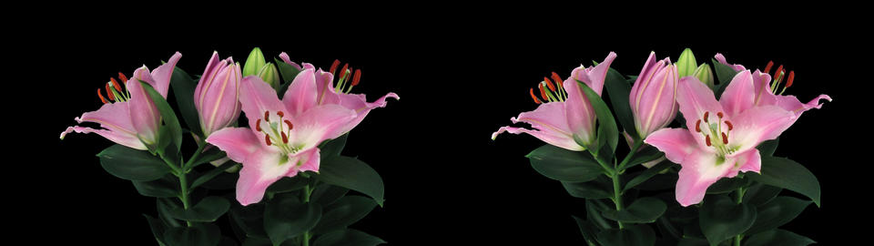Stereoscopic 3D time-lapse of opening pink lily cross-eye 4a Footage