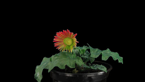 Stereoscopic 3D time-lapse of opening red gerbera (right eye) 1a Footage