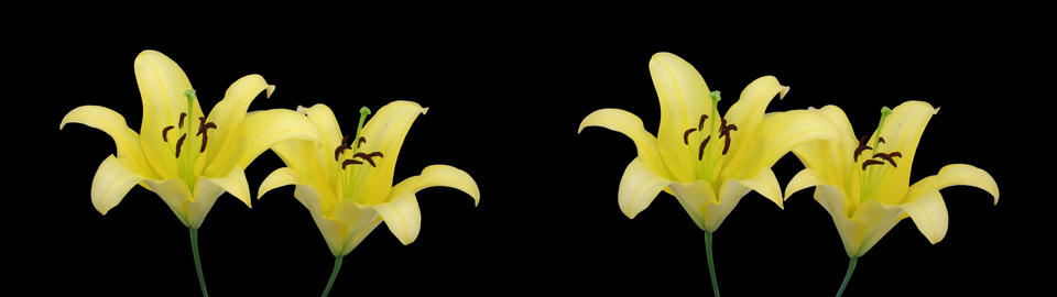 Stereoscopic 3D time-lapse of opening yellow lily (cross-eye) 2a Footage