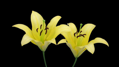 Stereoscopic 3D time-lapse of opening yellow lily (right... Stock Video Footage