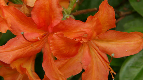 Blooming orange rhododendron (Ericaceae family) plant 1 Stock Video Footage