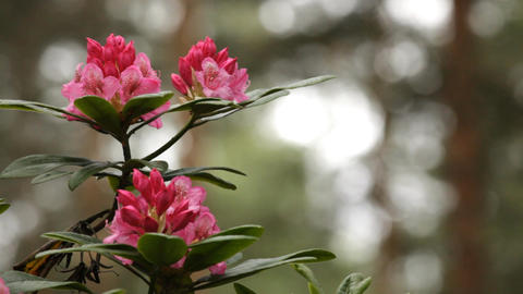 Blooming pink rhododendron (Ericaceae family) plant 2 Stock Video Footage