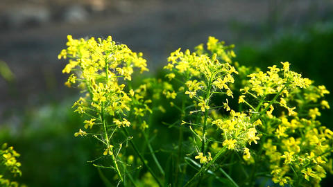 small yellow flower bush at summer sunset Stock Video Footage