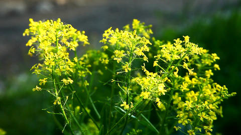 small yellow flower bush at summer sunset Footage