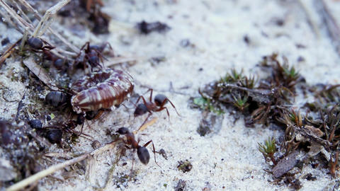 Ants and caterpillar Stock Video Footage