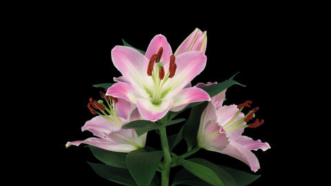 Stereoscopic 3D time-lapse of opening pink lily (left eye) 5a Footage
