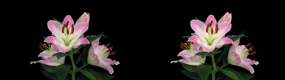 Stereoscopic 3D time-lapse of opening pink lily cross-eye 5az Footage