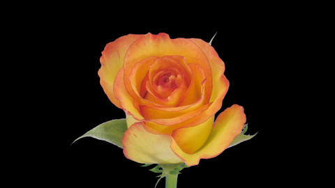 """Time-lapse of opening """"Birdy"""" rose with alpha matte 2c Stock Video Footage"""