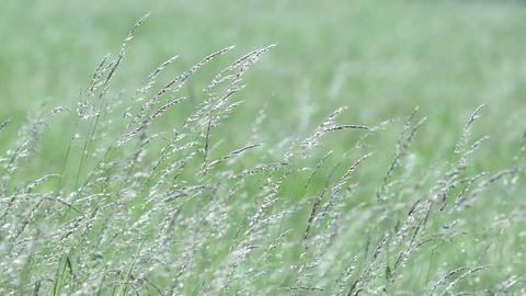 Wild grasses Footage