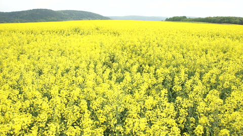 Canola Field Stock Video Footage