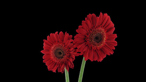 Stereoscopic 3D time-lapse of opening red gerbera (left... Stock Video Footage