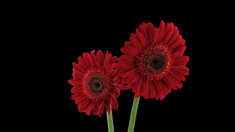 Stereoscopic 3D time-lapse of opening red gerbera (right... Stock Video Footage