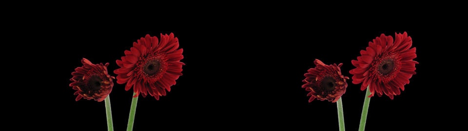 Stereoscopic 3D time-lapse of opening red gerbera... Stock Video Footage