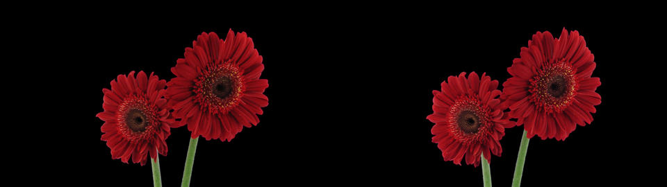 Stereoscopic 3D time-lapse of opening red gerbera (cross-eye) 1ahs Footage
