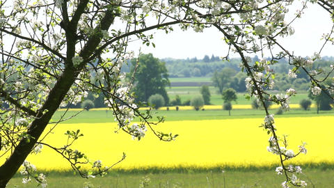 Canola Fields Stock Video Footage