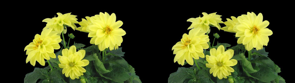 Stereoscopic 3D time-lapse of opening yellow dahlia 1chs (cross-eye) Footage