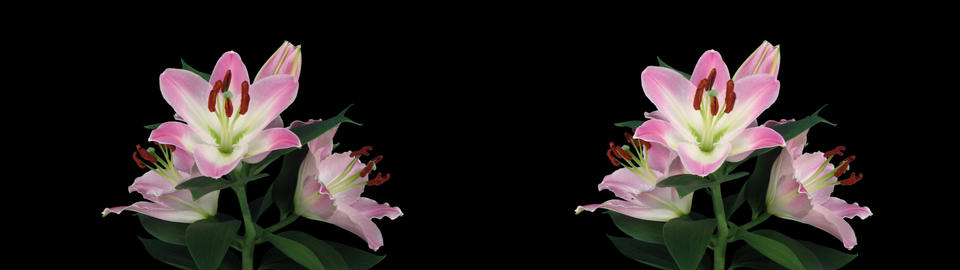 Stereoscopic 3D time-lapse of opening pink lily cross-eye 5a Footage