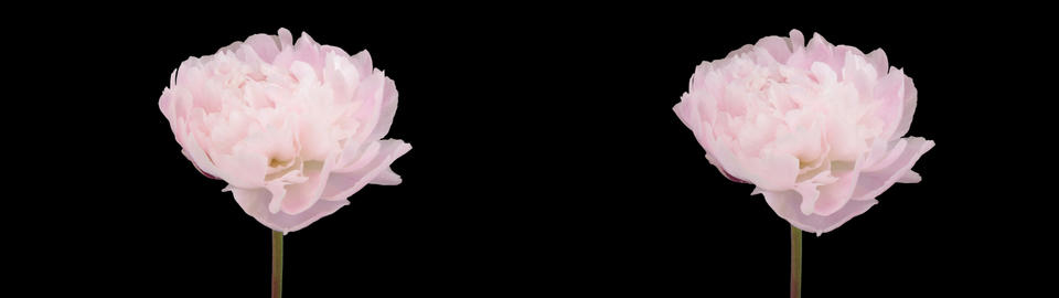 Stereoscopic 3D time-lapse of opening white peony 2ahs... Stock Video Footage