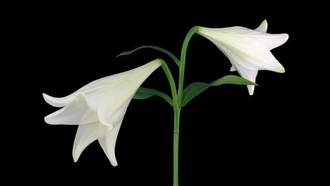 Stereoscopic 3D time-lapse of opening white easter lily (left-eye) 1a Footage