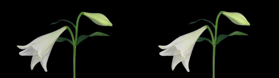 Stereoscopic 3D time-lapse of opening white easter lily... Stock Video Footage