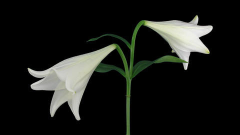 Stereoscopic 3D time-lapse of opening white easter lily (right-eye) 1a Footage