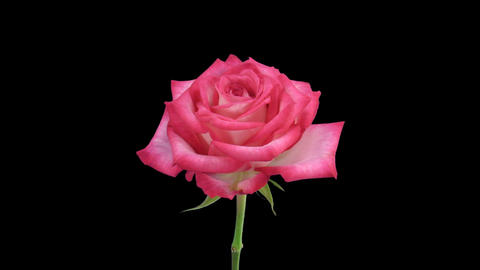 """Time-lapse of opening """"N-joy"""" rose with alpha matte 2 Stock Video Footage"""