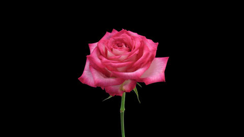 """Time-lapse of dying """"N-Joy"""" rose 3 Stock Video Footage"""