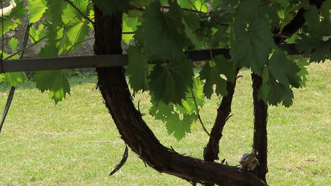 Sparrow on a branch of the vine Footage