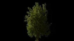 tree 02 Stock Video Footage
