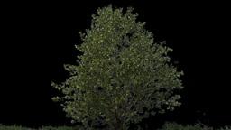 tree 06 Footage