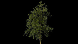 tree 09 Footage