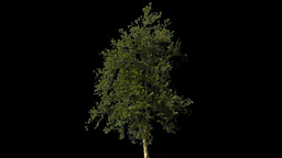 tree 09 Stock Video Footage