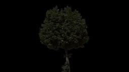 tree 27 Footage