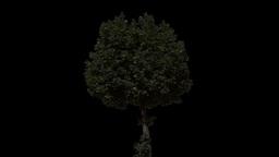 tree 27 Stock Video Footage