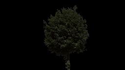 tree 29 Footage