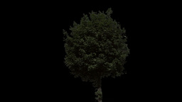 tree 29 Stock Video Footage