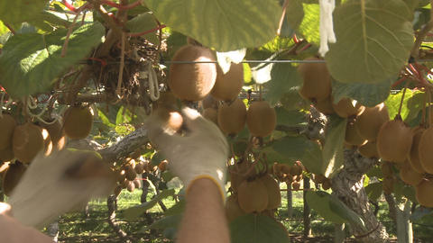 kiwifruit being picked Footage