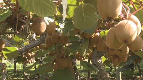 kiwifruit being picked Stock Video Footage