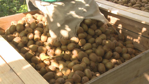 kiwifruit into bin and zoom Stock Video Footage