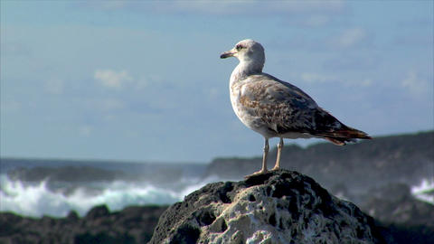 seagull with havy surf blur background Stock Video Footage