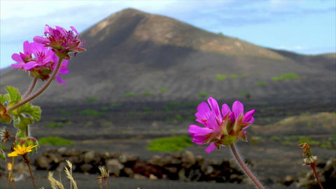 flowers on volcanic wine growing region Stock Video Footage