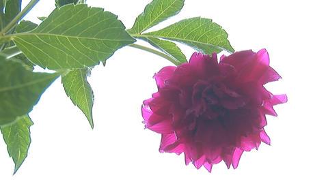 flower 5 Footage