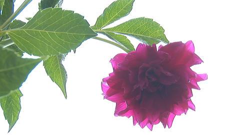 flower 5 Stock Video Footage