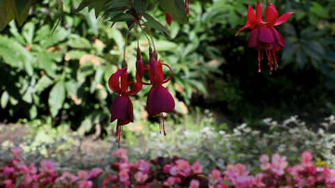 fuchsia Stock Video Footage