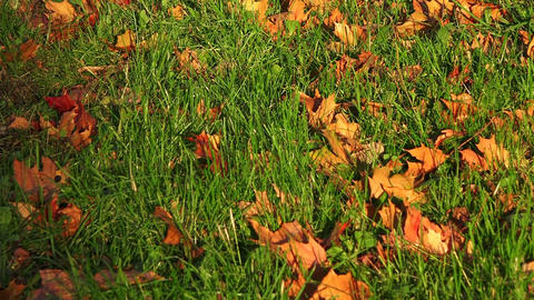Red maple leaf on the grass Footage