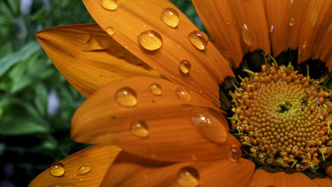 Droplets On Orange Flower stock footage